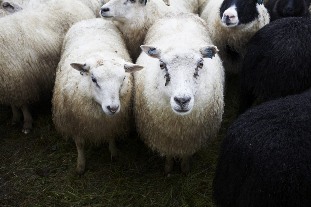 Upside-Down Rakes And White Sheep: A Sampling Of Icelandic Weather Superstitions