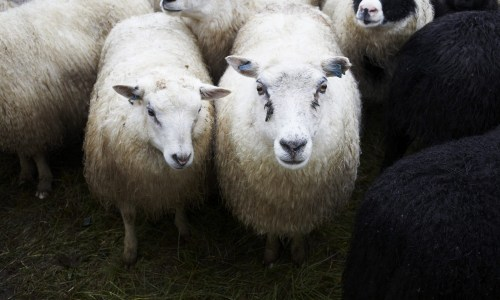 VIDEO: Outlaw Sheep Family In Iceland Visit Health Clinic, Later Apprehended
