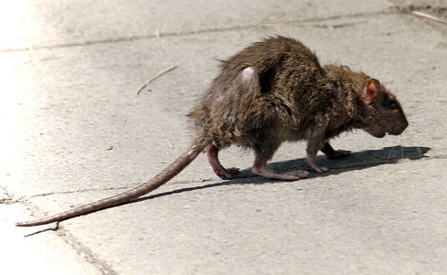 What To Do If You Find A Rat In Your Toilet