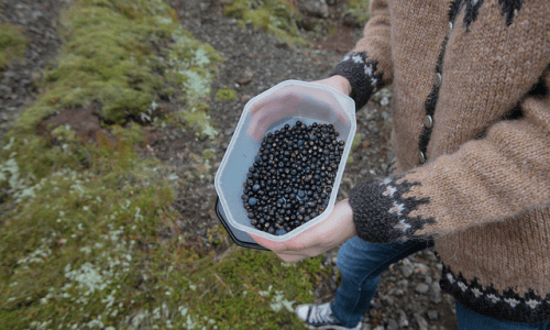 It's Berry Picking Season In Iceland