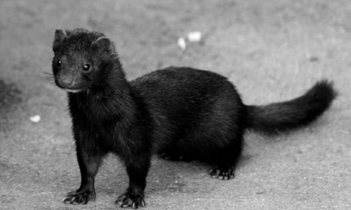 Police Chase Mischievous Mink