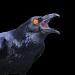 ravens wikimedia and NÁ