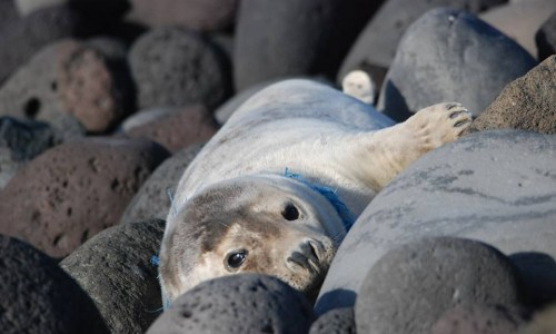 Agency Battles To Save Lady Seal