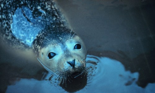 Zoo Directors Want Law Changed To Save Baby Seals