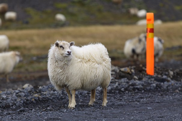 no sheep left behind natsha