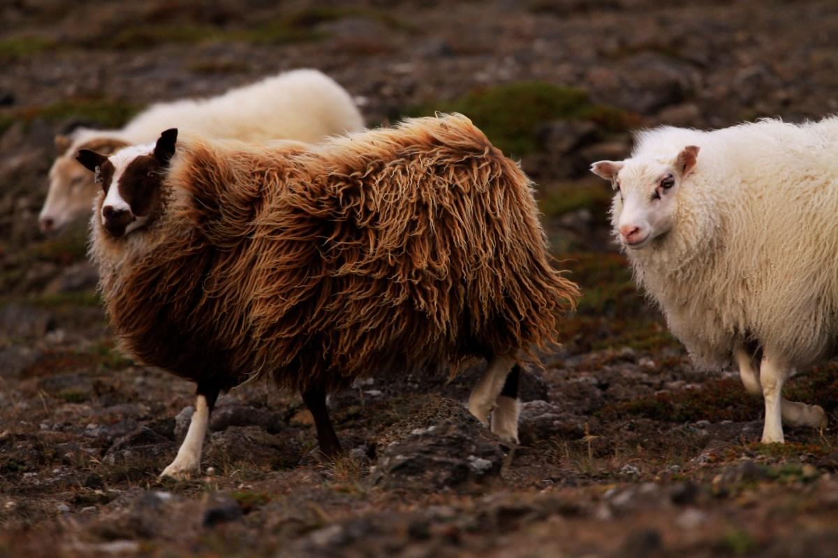 Réttir: NO SHEEP LEFT BEHIND!