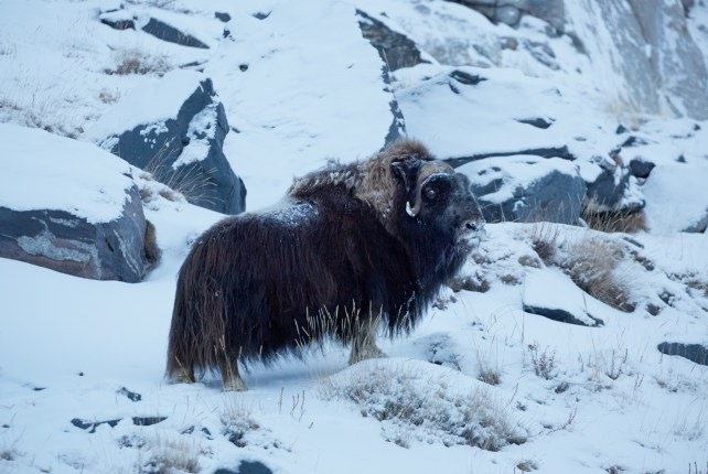 Musk Ox in Greenland by Axel Sig