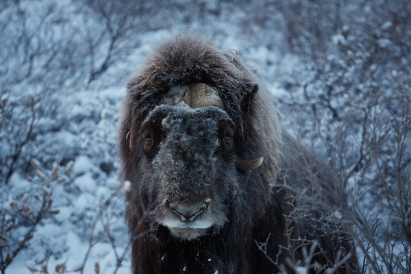 Greenland Musk Ox by Axel Sig