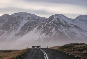 Ask An Expert: Why Are There No Reindeer In Western Iceland?