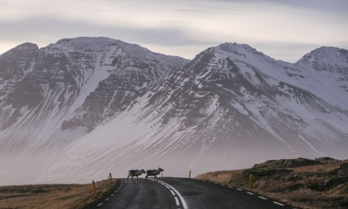 Icelandic Road Administration Issues Reindeer Warning