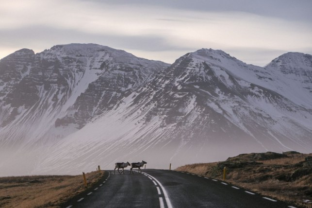 Reindeer Iceland Crossing
