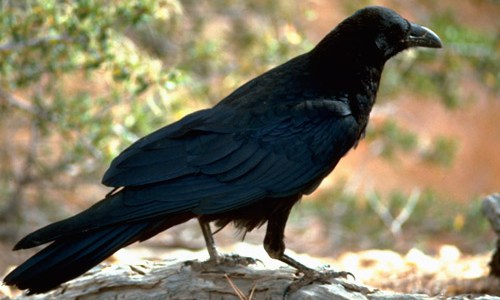 Icelandic Ravens In Danger Due To Extensive Hunting