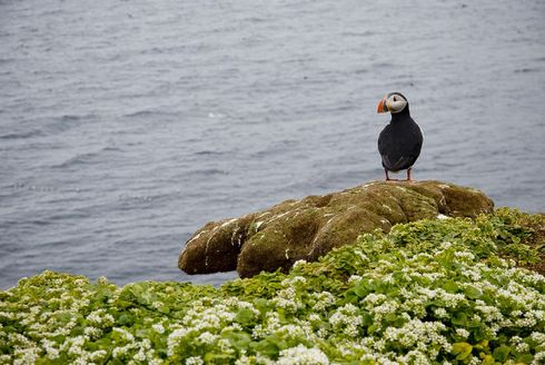 Where Have All The Puffins Gone?
