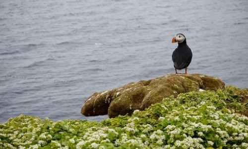 Puffin Populations Falling