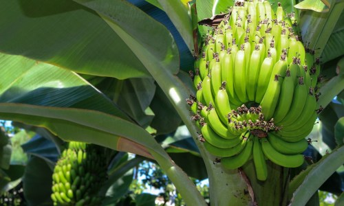 Panama Disease Threatens All Bananas