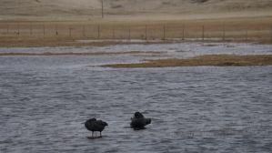 black swans 2 by Gunnar Þór Gunnarsson