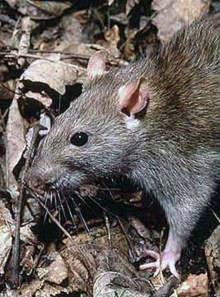 Save the Rats!