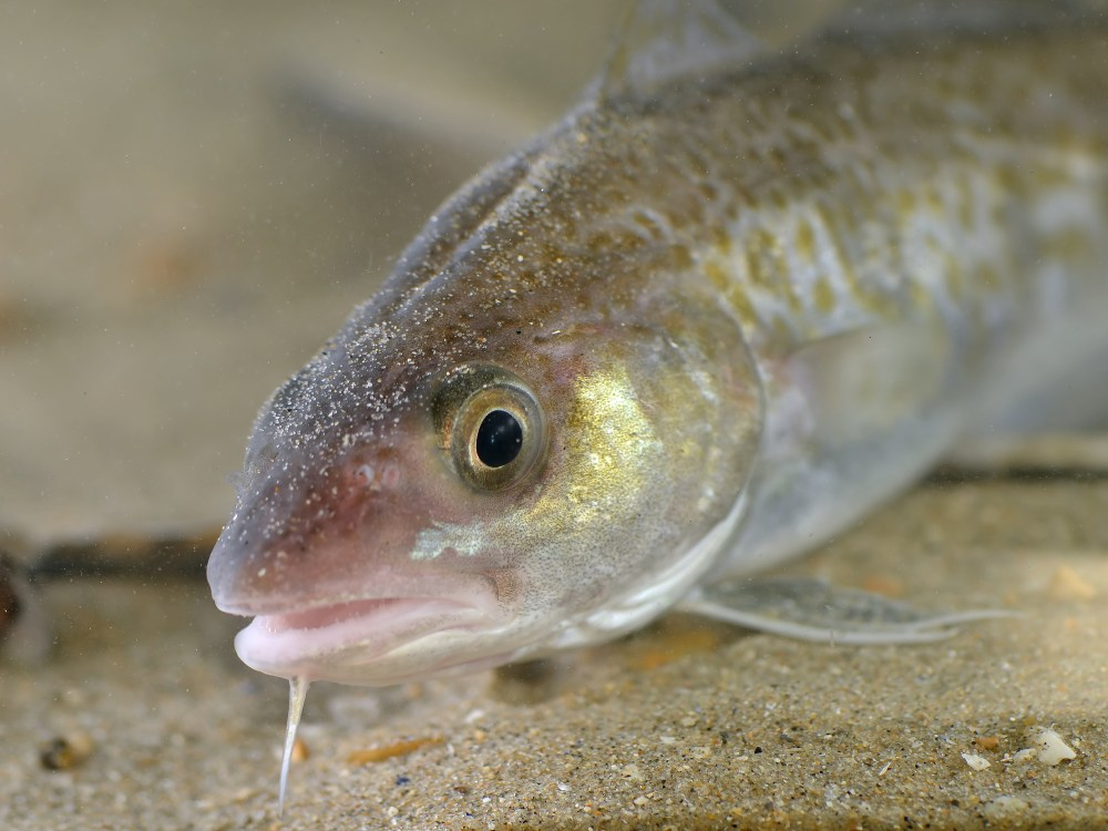 Beasts Of Iceland: The Atlantic Cod