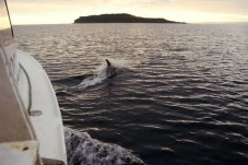 A dolphin chasing our boat.