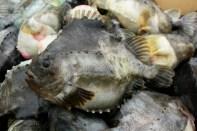 Lovely lumpfish!