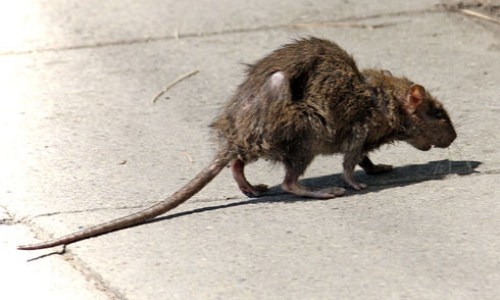 General Public Cautioned To Watch Out For Rats