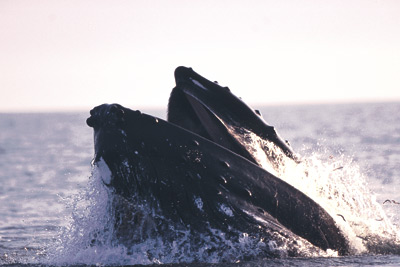 Whale Watching in Faxaflói Bay