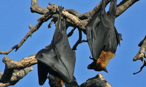 Growing Numbers Of Bats In Iceland