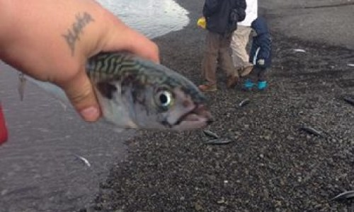 Tourists Attempt To Save Dying Mackerel
