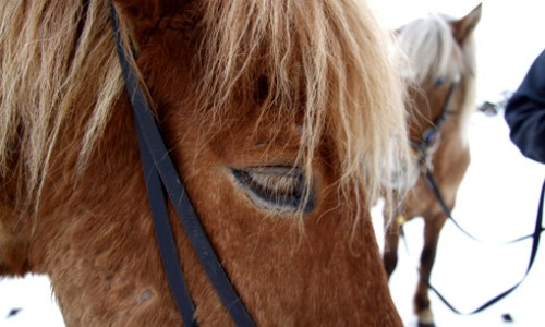 Horseback Riding In The West: The Norse Horse