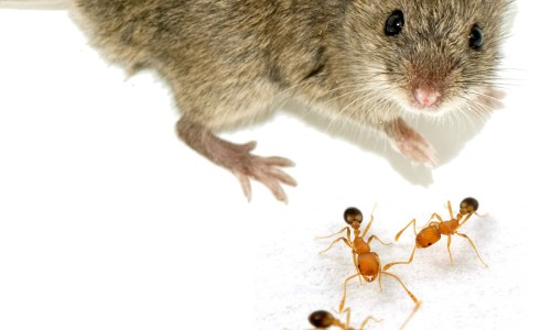 Mice Join Ants On Hospital Premises