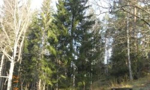 Iceland's Next Christmas Tree Found