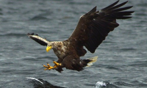 More Eagles In Iceland Than At Any Point Since Late 19th Century