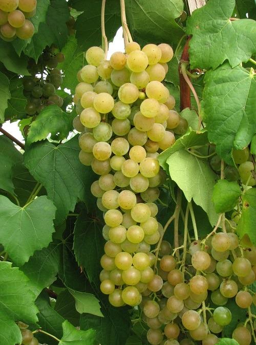 Diamond Muscat Seedless - Grapevines Galore