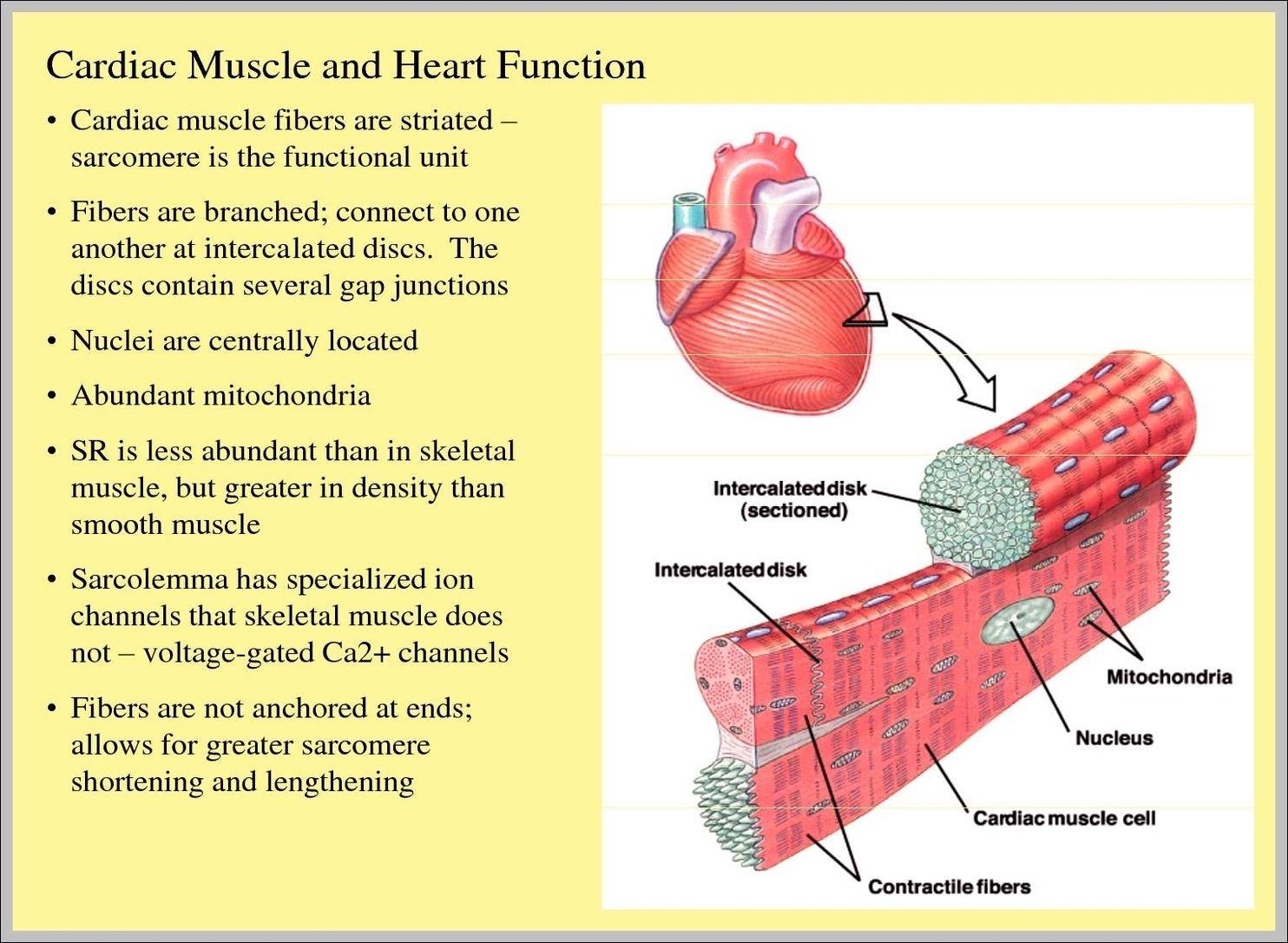 cardiac muscle tissue diagram labeled elan volume control wiring function graph