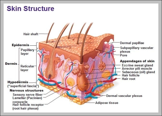 integumentary system diagram labeled kawasaki klf220 wiring human skin free for you graph layers