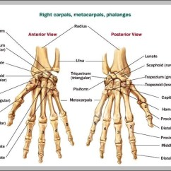 Wrist And Hand Unlabeled Diagram 12v Led Wiring Bone Schematics Data Diagrams Will Be A Thing U2022 Rh Exploreandmore Co Uk Bones