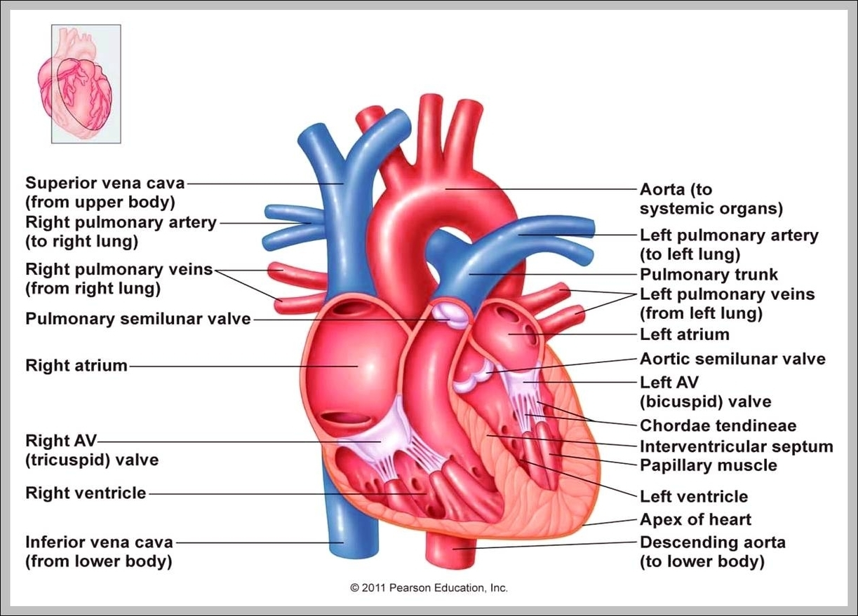 hight resolution of heart right atrium diagram chart diagrams and charts with labels this diagram depicts heart right atrium