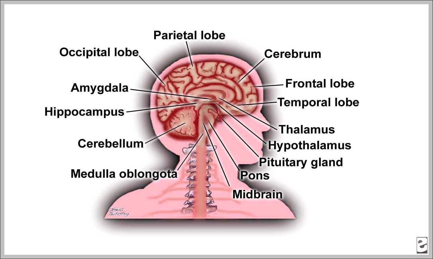 hight resolution of labeled picture of the brain