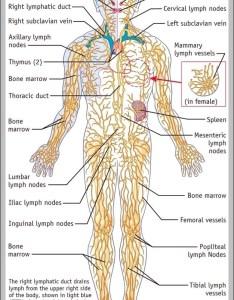 Lymph node chart graph diagram also hobit fullring rh
