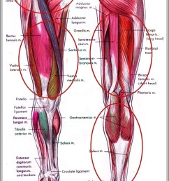 muscles in hip area diagram chart diagrams and charts with labels this diagram depicts muscles in hip area [ 928 x 1444 Pixel ]