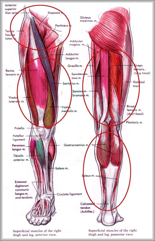 small resolution of muscles in hip area diagram chart diagrams and charts with labels this diagram depicts muscles in hip area