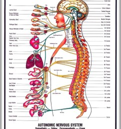 nervous system pictures diagram chart diagrams and charts with labels this diagram depicts nervous system pictures [ 844 x 1054 Pixel ]