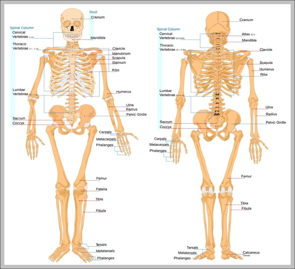 medium resolution of picture of bones in body diagram chart diagrams and charts with labels this diagram depicts picture of bones in body