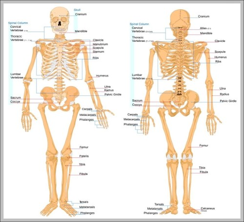 small resolution of picture of bones in body diagram chart diagrams and charts with labels this diagram depicts picture of bones in body