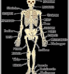 pictures of bones in the human body diagram chart diagrams and charts with labels this diagram depicts pictures of bones in the human body [ 805 x 1276 Pixel ]
