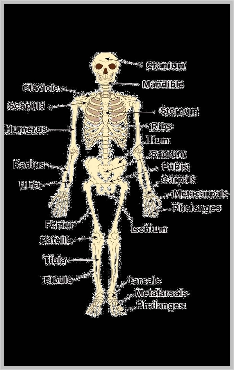 medium resolution of pictures of bones in the human body diagram chart diagrams and charts with labels this diagram depicts pictures of bones in the human body