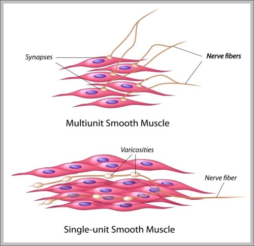 small resolution of pictures of muscle cells diagram chart diagrams and charts with labels this diagram depicts pictures of muscle cells