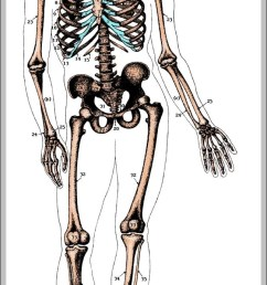 unlabeled human skeleton diagram chart diagrams and charts with labels this diagram depicts unlabeled human skeleton [ 650 x 1358 Pixel ]