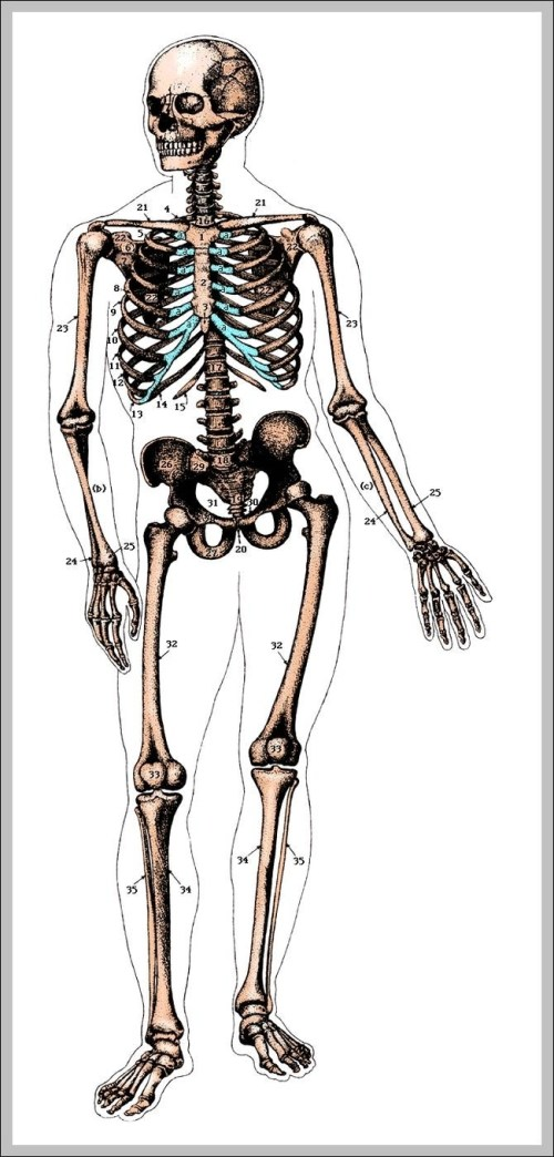 small resolution of unlabeled human skeleton diagram chart diagrams and charts with labels this diagram depicts unlabeled human skeleton