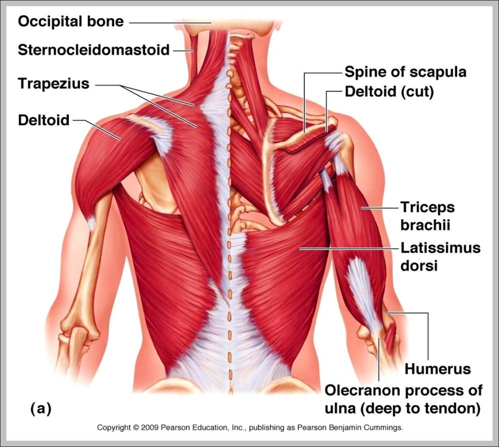 medium resolution of upper back muscle anatomy diagram chart diagrams and charts with labels this diagram depicts upper back muscle anatomy
